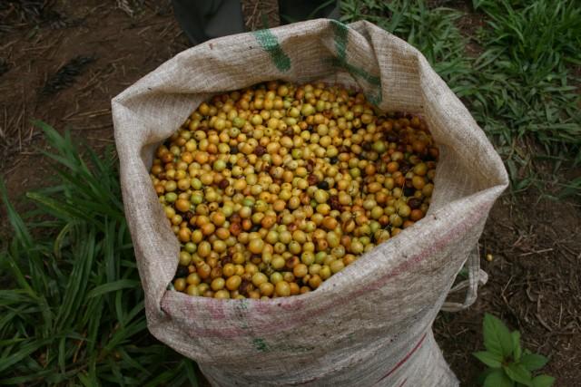 Coffee Cherry Catuai Yellow
